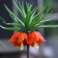 Ready Potted 1 Litre Pot   Fritillaria Aurora (Crown Imperial) Bulbs
